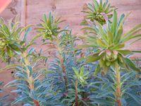 Euphorbia shooting