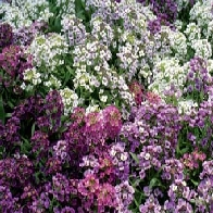 Alyssum Golf Bright