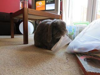 Putnum rabbit eating a paper bag