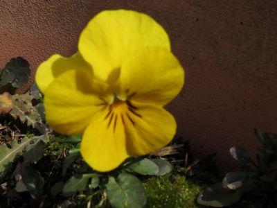 Springtime - yellow pansy