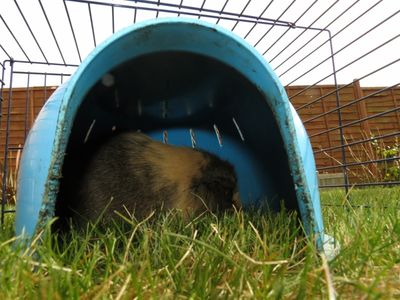 Springtime - guinea in run