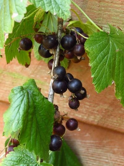 Blackcurrant bush (4)