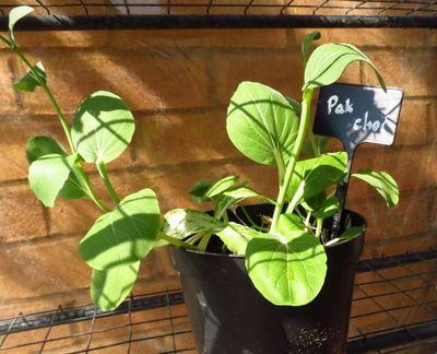 Pak choi in greenhouse