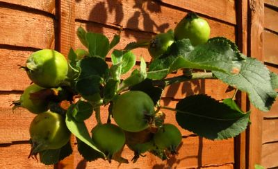 Apples growing (1)