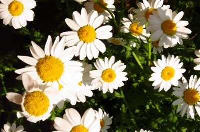 Marguerites (2)