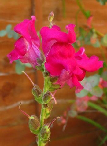 Flowering snapdragons (1)