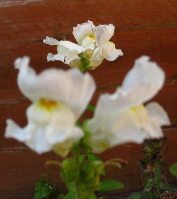 Flowering snapdragons (3)