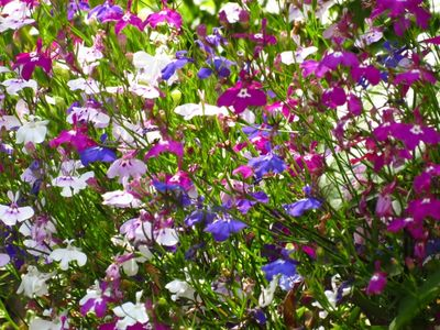 Lobelia flowering (800x600)