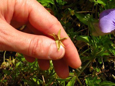 Pansy seeds