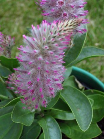 Little Joey flower (3)